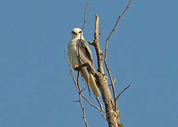 Kite, White-tailed