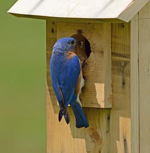Bluebird- Eastern