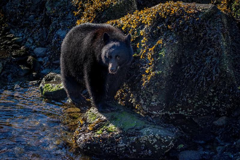 DSC 9405 black bear.jpg