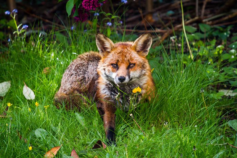 Fangs the Fox