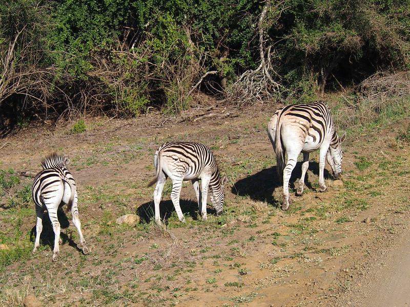 P5056371-grazing-zebras.JPG