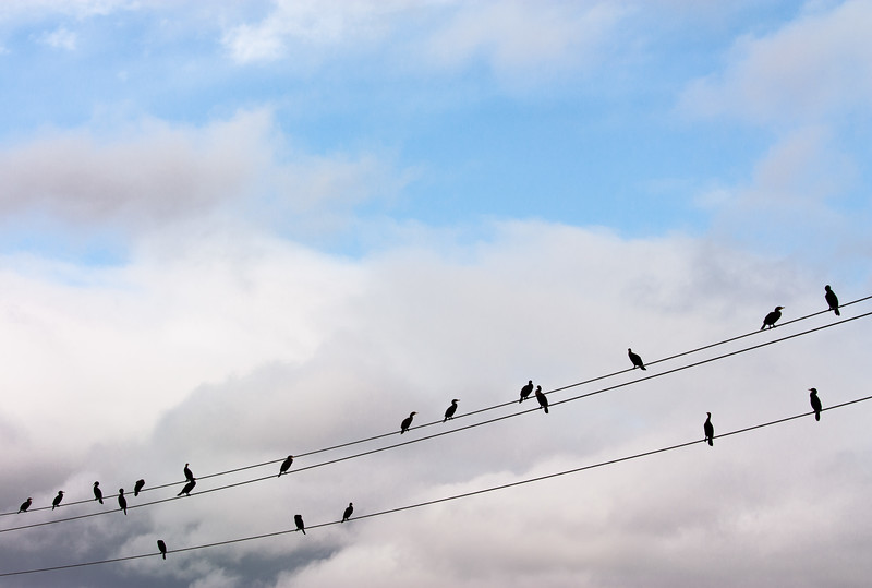 Birds on Wires, Campbell, California, 2010