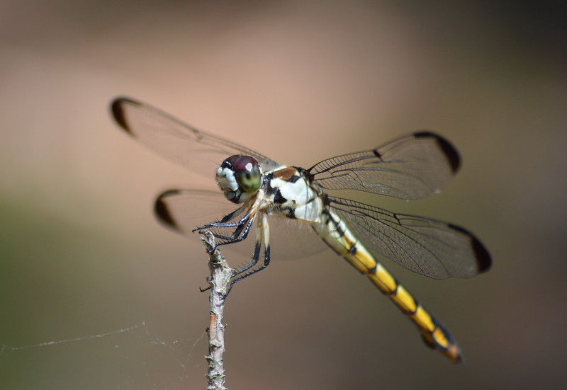 Yellow-dragonfly-corolla-1600px.jpg