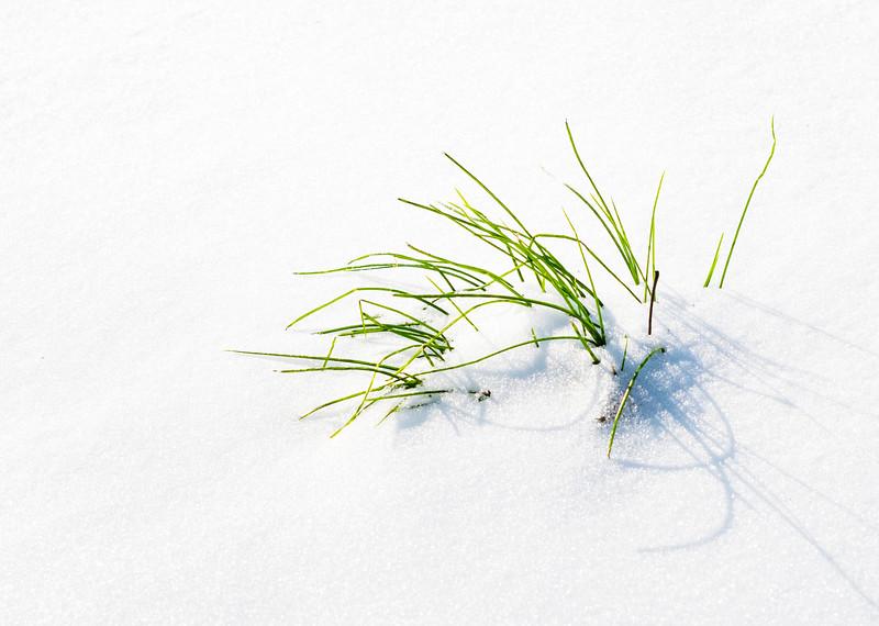 2021-02-16 Grass in snow_DSF0516.jpg