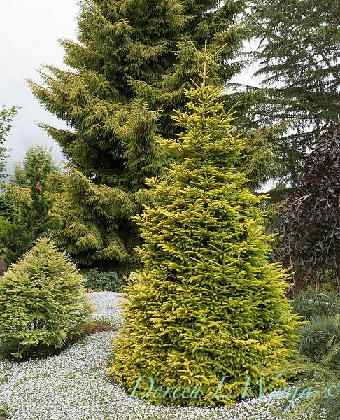 Picea orientalis 'Firefly' - Picea orientalis 'Skylands'_1153.jpg