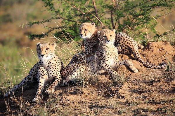 Cheetah Adventure Phinda South Africa 2016