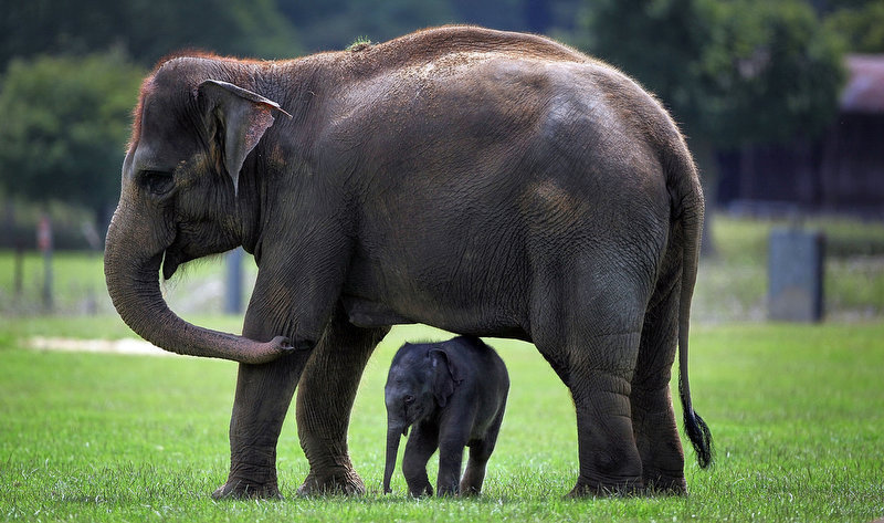 Description of . A newborn Asian elephant stands with other members of its herd at Whipsnade Wild Animal Park in Whipsnade, England. The 6-day-old Asian elephant (Elephas maximus) was three feet tall.  (Photo by Dan Kitwood/Getty Images)