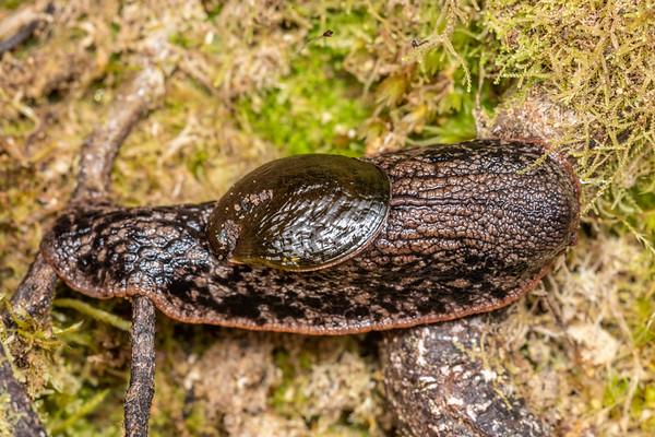 Schizoglossa novoseelandica - paua slug