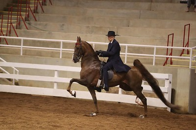 127. ASB Five Gaited STAKE - Open