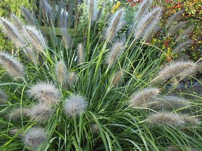 Pennisetum viridescens .jpg