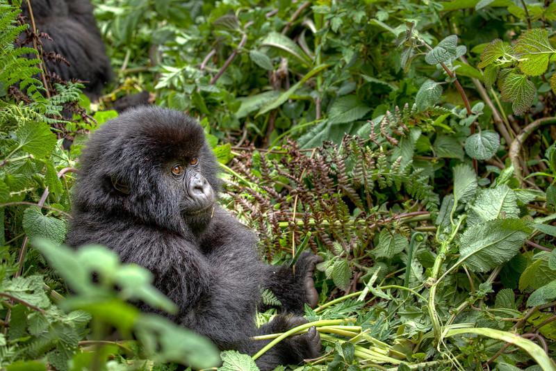 puffball gorilla.jpg