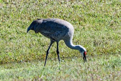 2019-01-29 Birding in Vero Beach FL