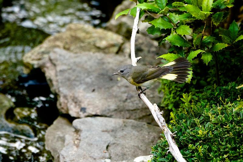 American Redstart-Female 4 - Version 2.jpg