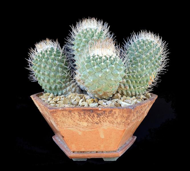 Strobocactus disciformis