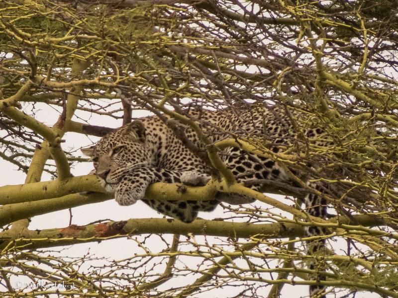 LeopardK-5.jpg