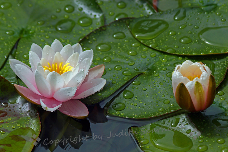 Water Lily Delight - Judith Sparhawk