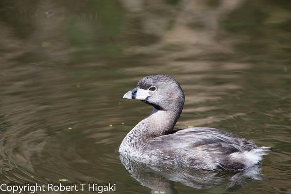 Pinto Lake- birds