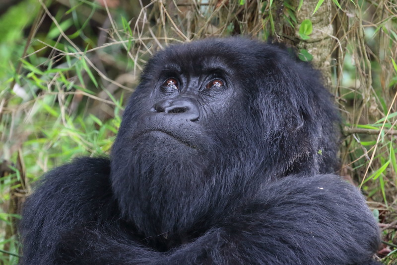 Gorilla0029.JPG