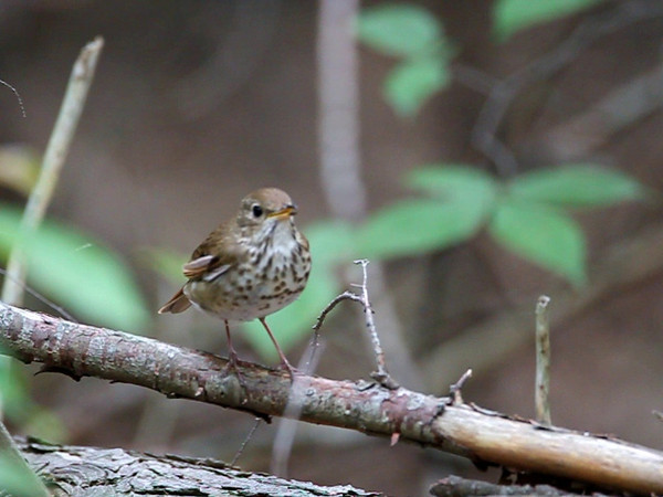 hermitthrush.mov