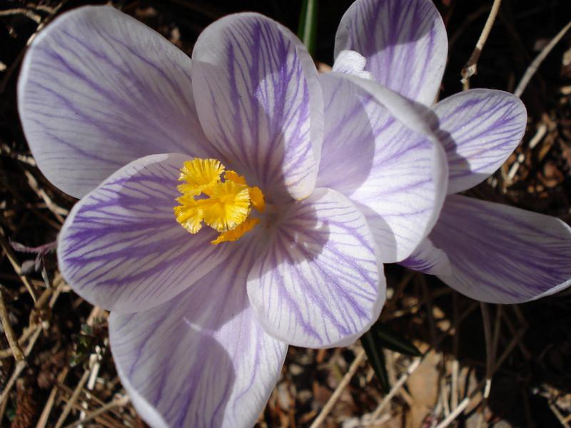 04_17_2007 Crocus