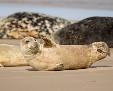 Seals Donna Nook September 2016