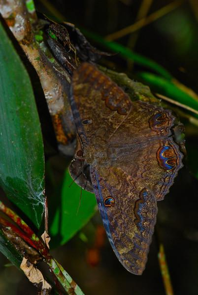Moth - Guyana