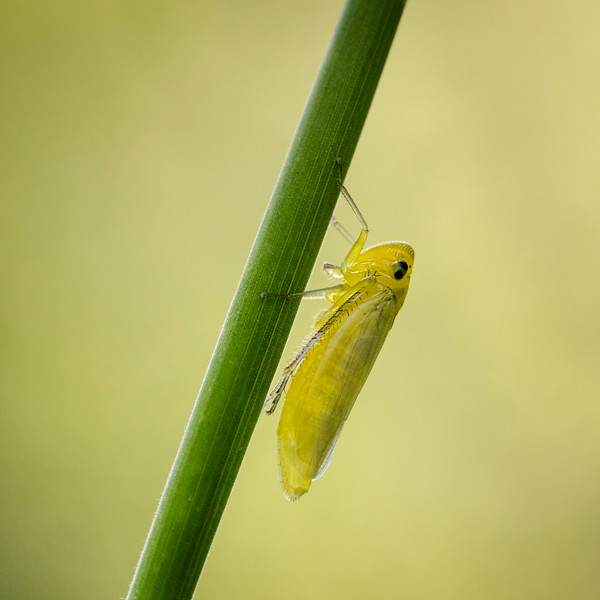 Green Leaf hopper newly emerged