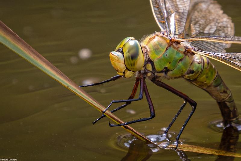 Emperor Dragonfly - Detail