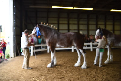 Jr Champion Clydesdale