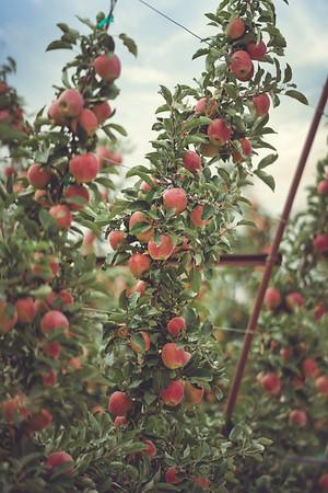 Quincy Basin Apples