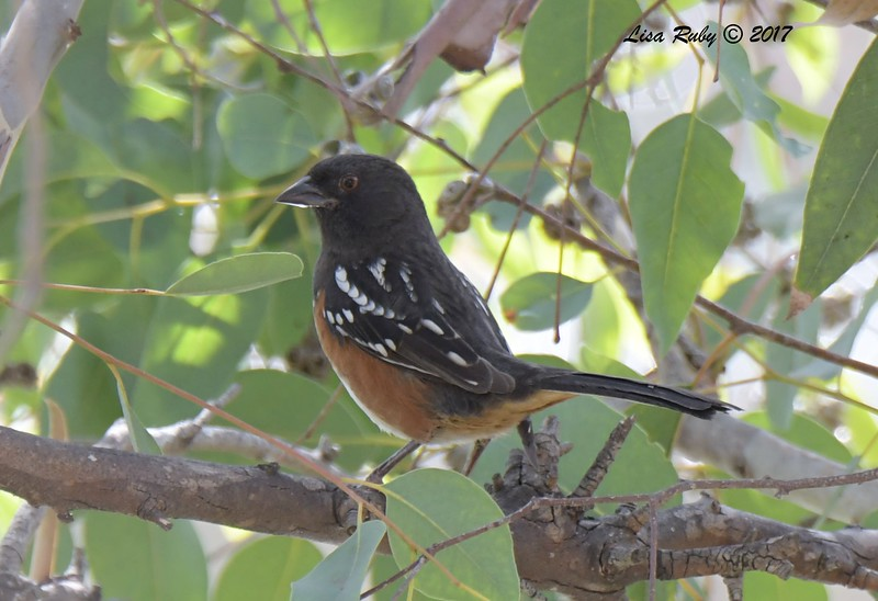 Spotted Towhee - 11/3/2017 - Poway Pond