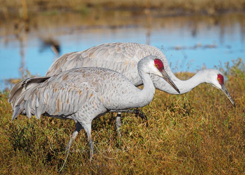 Sandhill Cranes at Llano Seco Refuge