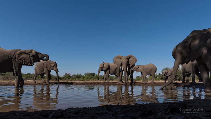 African Elephant, Mashatu GR, Botswana, May 2017-48.jpg