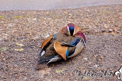 London Ducks