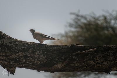 Cuckoo, African