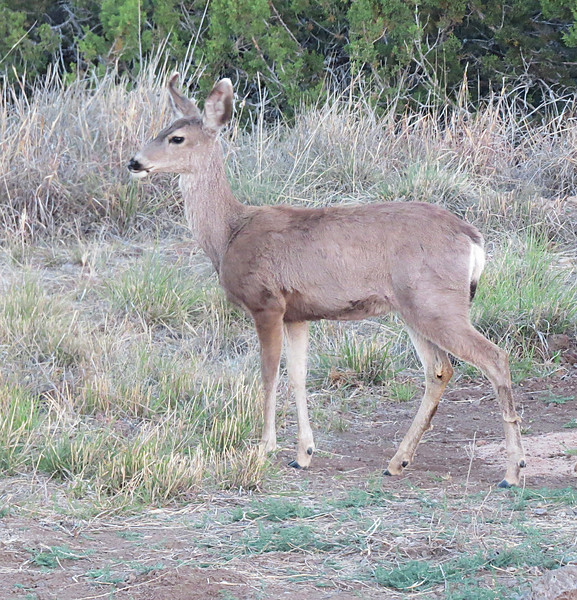 Young Mulie out back.jpg