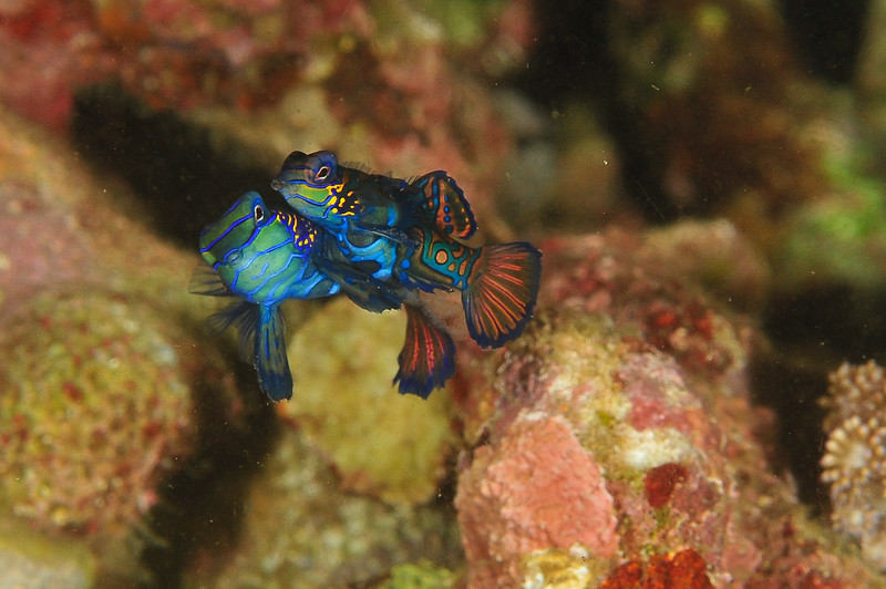 Mandarin Fish Mating