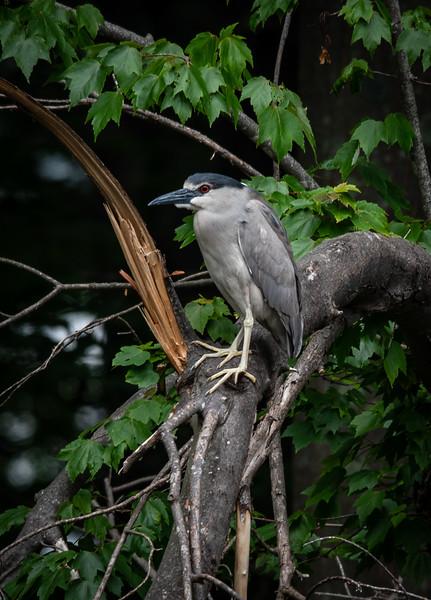 Black-Crowned Night Heron perched