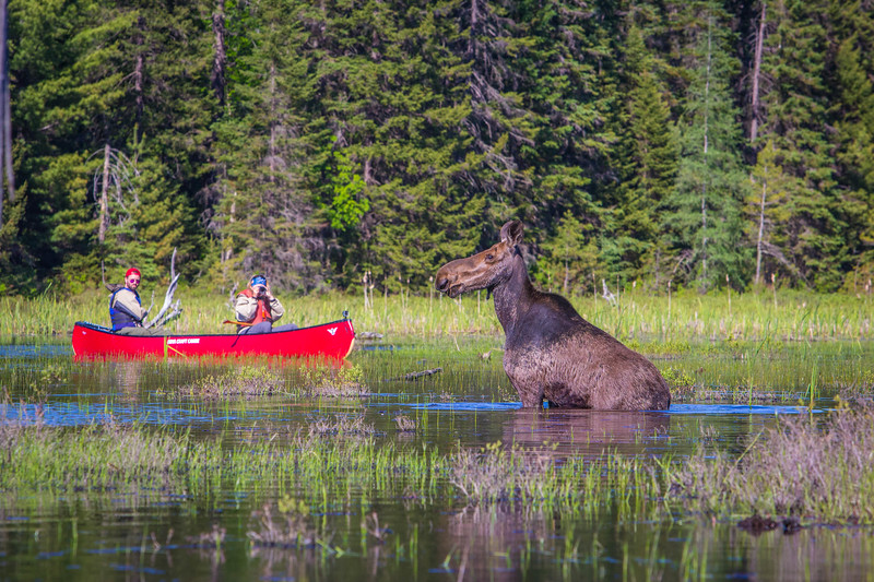 Photographing Moose in Algonquin Park