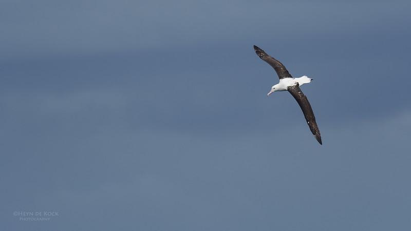 Northern Royal Albatross, Eaglehawk Neck Pelagic, TAS, Sept 2016-3.jpg