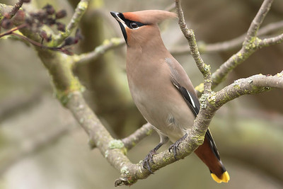 A Waxwing Winter