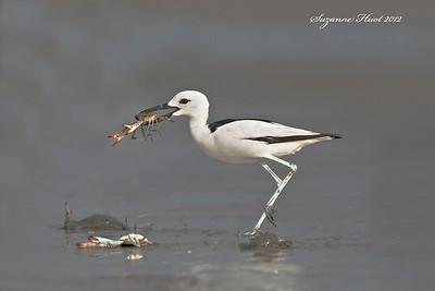 Shorebirds and Smaller Wading Birds