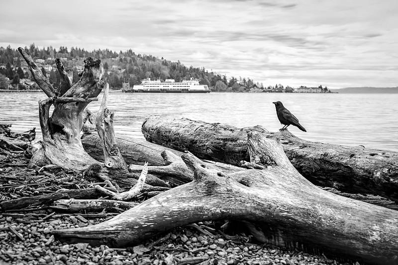 Crow with Vashon Island Ferry I