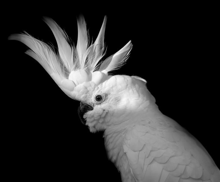 Face close-up of a beautiful sulphur-crested cockatoo