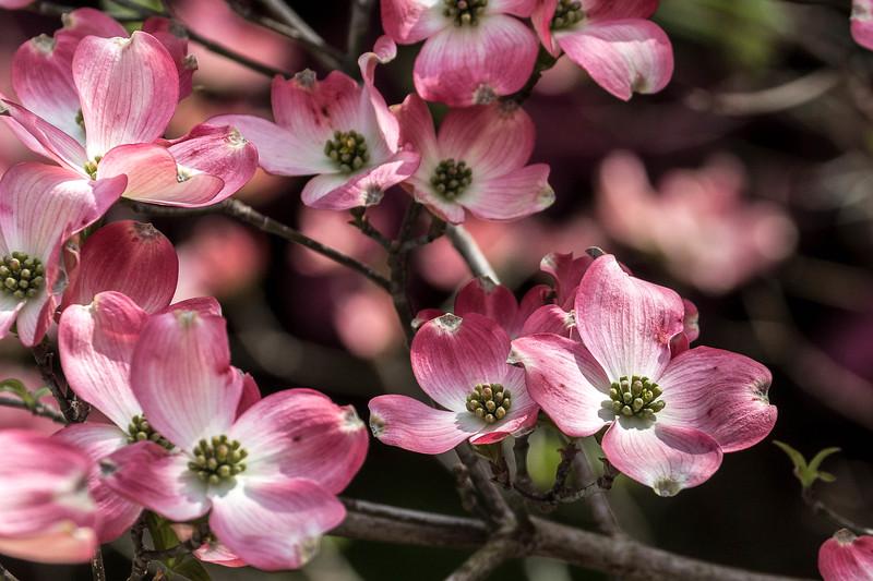 170413_29_6321_Blossoms-2.jpg