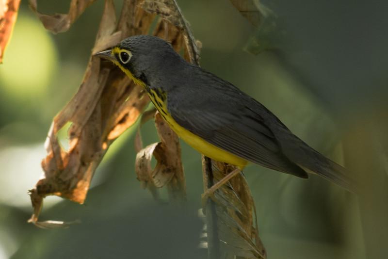 19-Sept Costa Rica Birds-1600.JPG