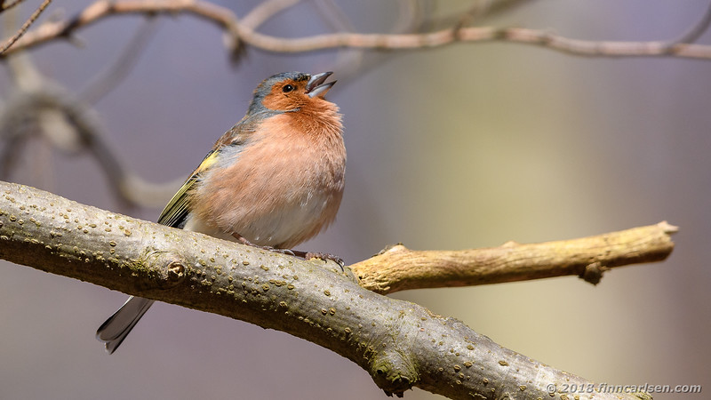 Bogfinke - Fringilla coelebs - Common Chaffinch
