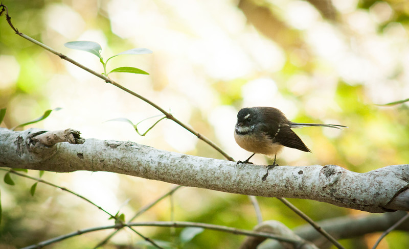 Fantail at Mount Cargill Scenic Reserve, Dunedin