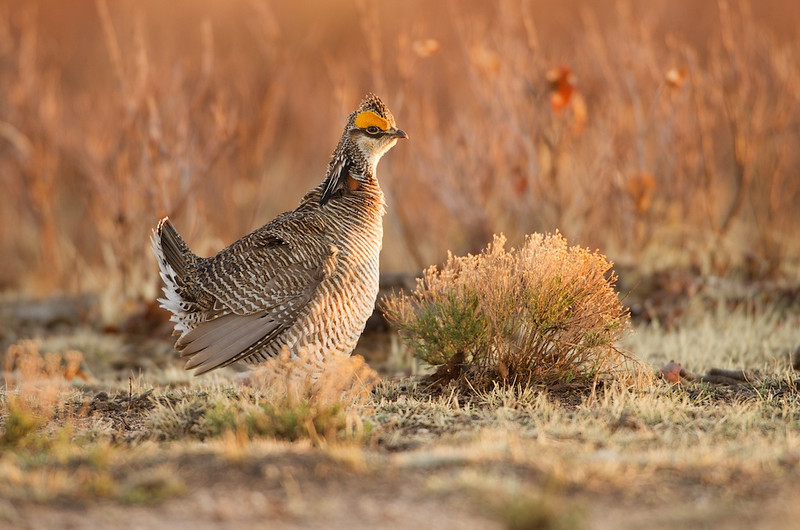 Lesser Prairie Chicken #4