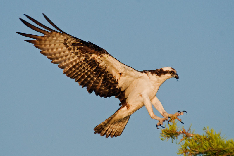 Osprey - Blue Cypress Lake, FL